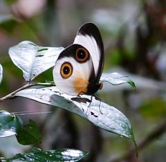 butterfly mount hagen area (Pete Read) Tags: butterfly mount hagen papau new guinea