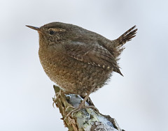 _Q8A3517BurnabyLakePacificWrenSmall (birdbug3) Tags: troglodytes pacificus