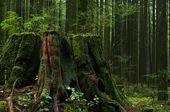 A Thousand Years Wide (Kristian Francke) Tags: stump forest tree old green landscape nature natural bc canada britishcolumbia outdoors pentax goldenearsprovincialpark