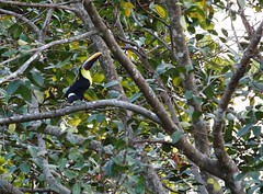 Toucan de Swainson_1193 (Chris the Borg) Tags: toucan swainson jaune noir brun arbre feuillage oiseau costa rica manuel antonio parc national chestnut yellow black brown tree leaves picture morning matin green