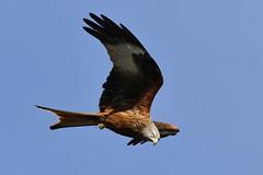 Red Kite (Milvus Milvus) (Fly~catcher) Tags: milvus red kite