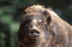ZOO0230 (Akira Uchiyama) Tags: 動物たちのいろいろ 鼻 鼻イノシシ