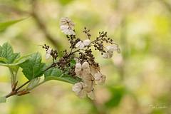 Fading Hydrangea (Bob C Images) Tags: hydrangea flowers blooms spring fading branch macro cheekwood sony