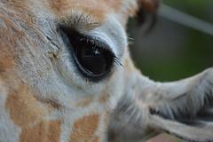 DSC_1096120611 (Akira Uchiyama) Tags: 動物たちのいろいろ 目 目キリン