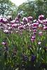 _DSC0729 (Riccardo Q.) Tags: parcosegurtàtulipani places parco altreparolechiave fiori tulipani segurtà