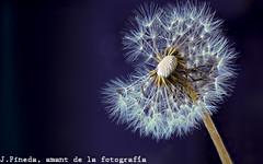 Dent de lleó (j66pineda) Tags: flor flower pissenlit dandelion dientedeleón cosina100mmf35 cosina100mm gününeniyisi thebestofday macro god best