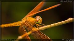 lazy dragonfly (kelvinj_funlab) Tags: kelvinjong funlab d810 nikon tamron90mmf28spdimacro11vcusd nissini40 tamron macro kenko sengkang singapore insect dragonfly afternoon