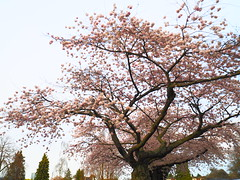 P4111311 (mina_371001) Tags: cherryblossom sakura tree beautiful spring vancouver canada workingholiday lifeincanada lifeinvancouver japaneseflowers flower sky olympusomdem10 photographywork