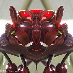 (christine chardon) Tags: fleurs flowers flores fiori innommés creatureart creaturedesign creation creature nature plante botanic photoart masque personnage fantastique mysterious printemps spring jacinthe rouge