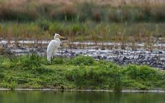 Great white egret. (greeny 1) Tags: egret bird olympus rspb leightonmoss silverdale 300mm