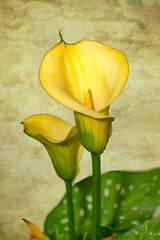 Calla Lily (Bob from Caledon) Tags: flowers callalily lily
