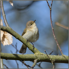 Chiffchaff (Full Moon Images) Tags: rspb sandy lodge thelodge wildlife nature reserve bedfordshire bird chiffchaff