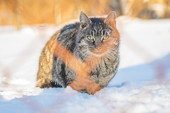 Snow Cat (kevinleedrum) Tags: cat cats kitty kitties feline animal animals feralcat feralcats outside outdoor outdoors