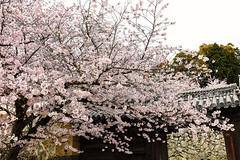 Silent Gate (moaan) Tags: himeji hyogo japan jp sakura cherrytrees cherryblossoms himejicastle gate blossoms blossoming inblossom april spring canoneos5dsr ef1635mmf4lisusm