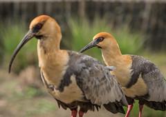 Gedronken! (Christel Schoepen) Tags: ibis dierenpark planckendael