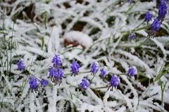 Ikka talvisemaks (anuwintschalek) Tags: nikond7000 d7k 18140vr austria niederösterreich wienerneustadt kodu home kevad frühling spring april 2017 lumi schnee snow garten garden aed