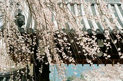 醍醐花見 ([M!chael]) Tags: nikon f3hp nikkor 10525 ais kodak ultramax400 japan cherry sakura kyoto film manual 醍醐寺 daigoji