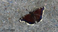 Papillon Morio, 15 avril 2017 - (lacostejm) Tags: papillon morio zico zicoduquébec zoneimportantepourlaconservationdesoiseaux secteurdoiseauxmigrateursdelîleauxhérons bergesdustlaurent migratorybirdsanctuary rapidesdelachine lasalle nymphalisantiopaantiopa mourningcloak camberwellbeauty