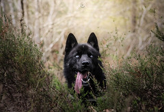 IGOR (marine.benchao) Tags: husky siberien family foret wood dog dogs siberian hund automn igor blue eyes black white canon eos 80d 50mm 18
