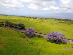 DJI_0116 copy (Aaron Lynton) Tags: jacaranda tree purple purps kula upcountry maui drone mavic djimavic dji hawaii dakine