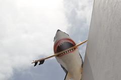 GRRR! (atomareaufruestung) Tags: grrr selfie greatwhite shark surfboard april 2017 fun nonsense dowatchyoulike gotcha canoneos7dmarkii canon7dmarkii 7dmarkii eos7dmarkii canon ef24105mmf4lisusm 24105 fuerteventura canaryislands atlanticocean tiburon hai food futter me hungry hambre hunger derweisehai animal pet fish