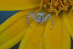 Waiting... (living lunch?) (Judit T) Tags: flower insect spider brasil