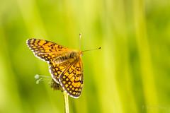 Melitaea deione (Ferruxe65) Tags: 23042017 canoneos7d cotobade macros tamron150600 tenorio campos macrofotografía bolboretas butterflies nature naturaleza fields ríolérez pontevedra galicia melitaeadeione doncellaibérica