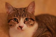 IMG_9007 (Nekogao) Tags: cat cats home 猫 にゃんこ 可愛い 子猫