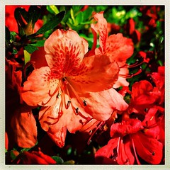 Azaleas redux. #Takoma #dc #dclife #washingtondc #iphone #iPhone #iPhonemacro #macro #azalea #flower #flowersofinstagram (Kindle Girl) Tags: instagramapp square squareformat iphoneography uploaded:by=instagram iphonemacro iphone iphone365 flower azalea spring washington dc dclife takoma hipstamatic