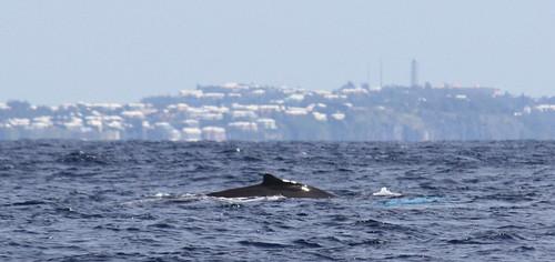 Humpback Whale Dorsal Fin off Bermuda