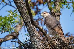 Cooper's Hawk (Marlo Casabar) Tags: bird animal keller texas fierce hawk wildlife talon raptor hunter tamron majestic nesting plumage audobon accipiter cooperii 150600 150600mm tamronusa httpswwwflickrcomsearchqtamronsp150600mtags