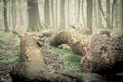 Fallen II (derScheuch) Tags: tree fog germany deutschland nebel fallen grn wald baum ammerland wildenloh