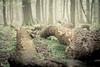 Fallen II (derScheuch) Tags: tree fog germany deutschland nebel fallen grün wald baum ammerland wildenloh