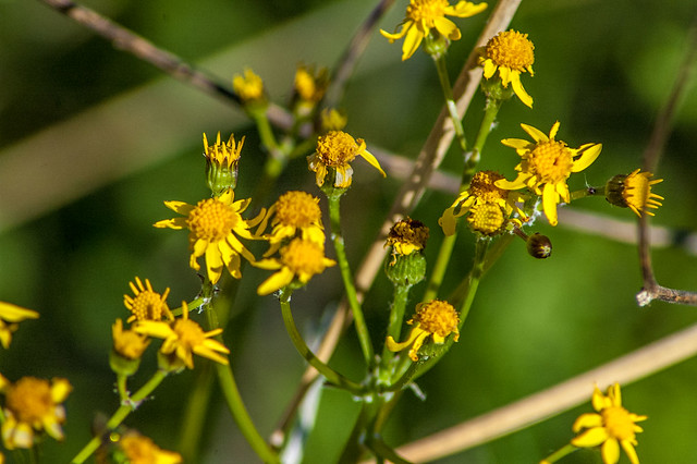 Cedar Bluffs Nature Preserve -  Golden ragwort - April 19, 2014