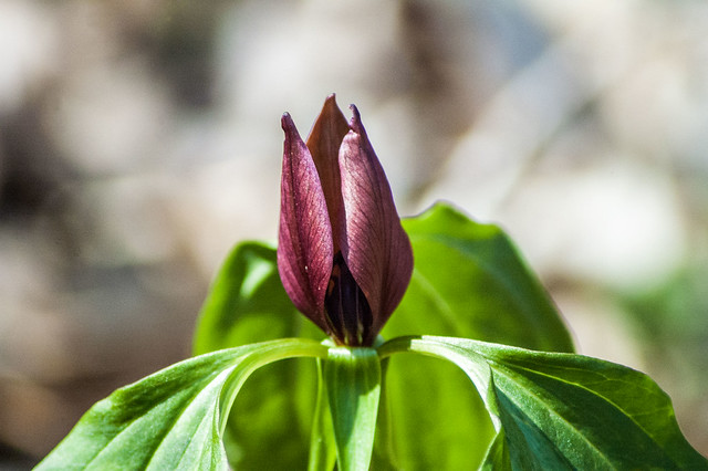 Cedar Bluffs Nature Preserve - Prairie trillium - April 19, 2014