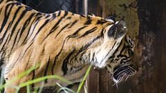 Burning Bright DSC4366 (iloleo) Tags: nature mammal hawaii oahu tiger colourful sumatrantiger honoluluzoo nikond7000