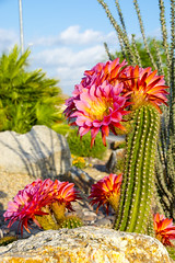 Final Salvo (damneardone) Tags: las pink vegas cactus flower east bloom trichocereus