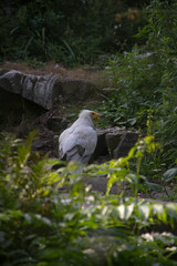 20130808#147 - Egyptische aasgier.jpg (rrvo) Tags: zoo belgi planckendael vogel dierenpark gier 2013 aasgier egyptische dierenparkplanckendaelvogelaasgieregyptische2013belgigierzoo