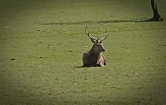 Stag Do Arran Style (Bricheno) Tags: island scotland clyde stag escocia deer golfcourse arran isleofarran szkocja schottland scozia lochranza cosse  esccia   bricheno scoia