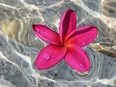 afloat (saudades1000) Tags: pink flower water droplets petals agua eau flor simplicity tropical fiori corderosa afloat shimmer simplicidade