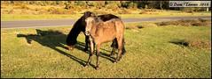 Watching you!! On Ringwood common (dark-dawud) Tags: uk england horses horse eye ears hampshire heads hook hoof equestrian nomansland equine mane muzzle hock shaddows ringwoodcommon