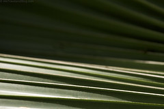Green Rolling Palm (Gabriel Harding Photography) Tags: green nature lines leaf pattern dominicanrepublic patterns wave palm line mothernature palmleaf beautifulnature patternsinnature rollingpalm