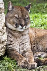 Puma (Christian Polloni) Tags: felino puma pumaconcolor mammifero parcofaunisticolecornelle