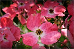 Pink Dogwood 4 26 2014 (rbdal (Rick Dalrymple)) Tags: pink flowers tree oregon nikon dogwood blooms hillsboro pinkdogwood washingtoncounty d7000