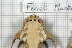FerretUpperTeeth (JRochester) Tags: skeleton ferret teeth upper bone furo osteology mustela