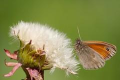 Atterrissage en douceur ** (Titole) Tags: butterfly dandelion papillon pissenlit procris unanimouswinner thechallengefactory friendlychallengessweep titole nicolefaton