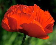 _IAW2826 (IanAWood) Tags: manualfocus hertfordshire rickmansworth d300 flowermacros flowercloseups flowersofspring walkingwithmynikon nikkormicropce85mmf28d