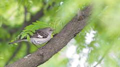 Northern Mockingbird (MecCanon [DatAperture]) Tags: new york birds canon eos is uccelli pajaros syracuse northern 70200 mockingbird vogel oiseaux mimus f4l spotlijster polyglottos 60d sinsonte pnocny moqueur polyglotte cenzontle spottdrossel przedrzeniacz