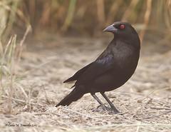 Bronzed Cowbird IMG_3204edtsg2 (cmescamilla) Tags: ngc bronzedcowbird molothrusaeneus privateranch laredotx avianexcellence tordoojorojo