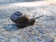 Alltid hemma (tusenord) Tags: gastropoda skola pulmonata insekter snäckor utmaning fotosondag fotomaran14 fs140518